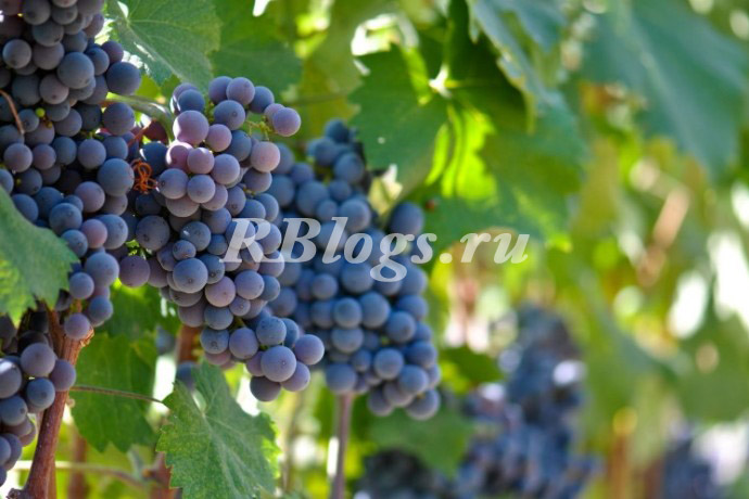 Фото и описание сорта винограда Агат Донской