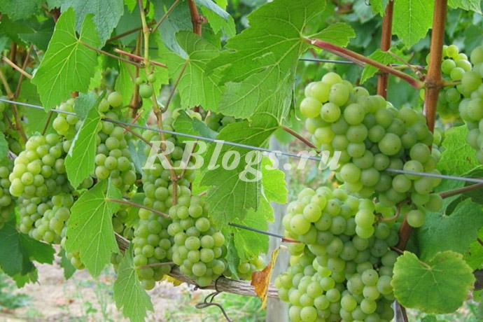 Фото и описание сорта винограда Алешенькин