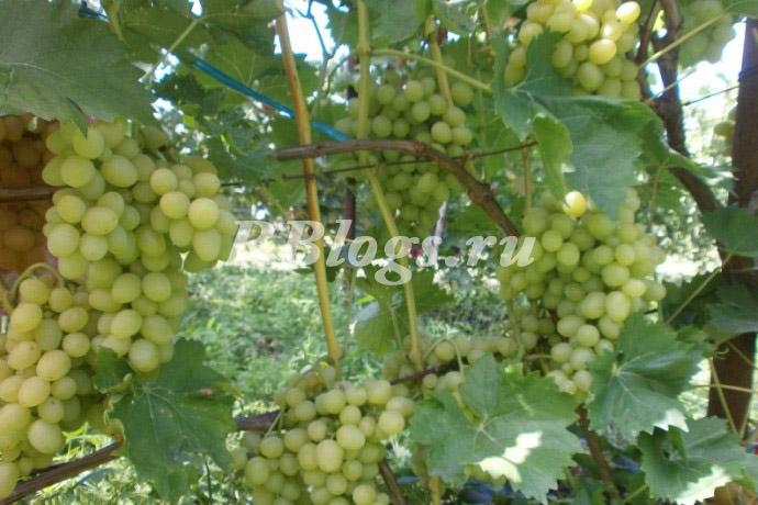Описание и фото сорта винограда Аркадия