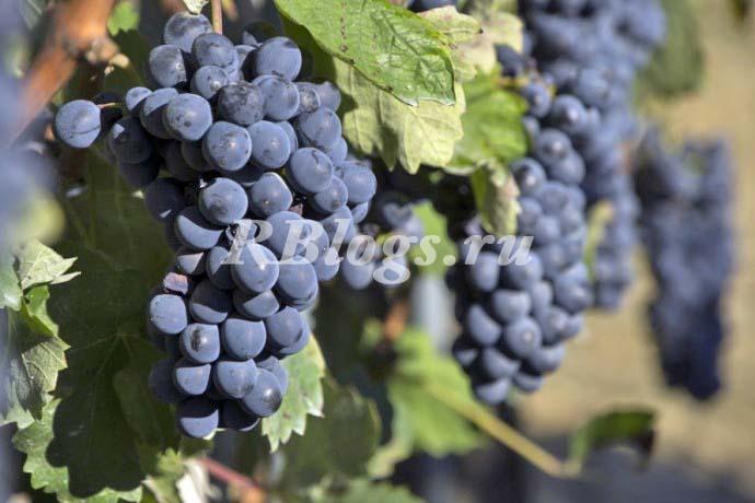 Фото и описание сорта винограда Буффало