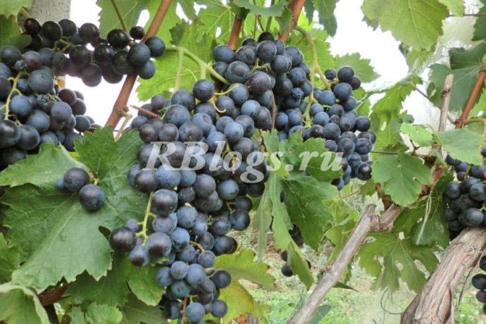 Фото и описание винограда Фиолетовый ранний