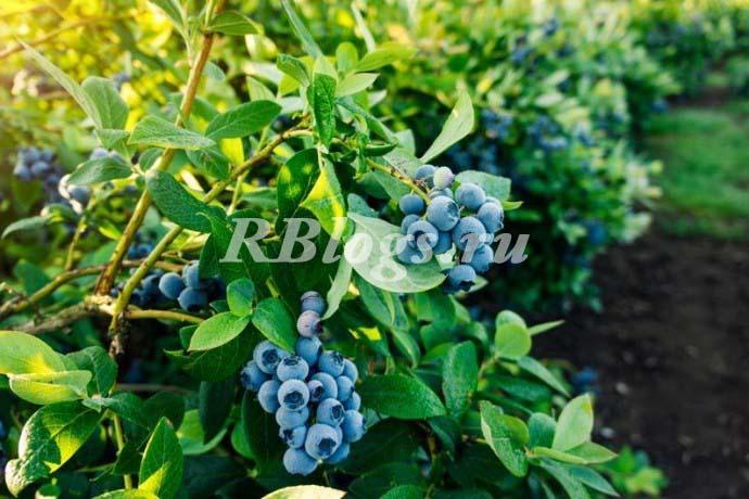 На фото Голубика высокорослая, или высокая (Vaccinium corymbosum)