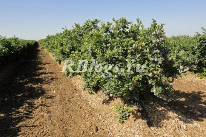 Схема посадки голубики садовой (высокорослой)