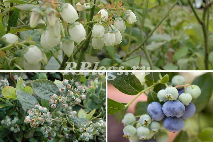 Как растет голубика: цветы, ягоды, листья