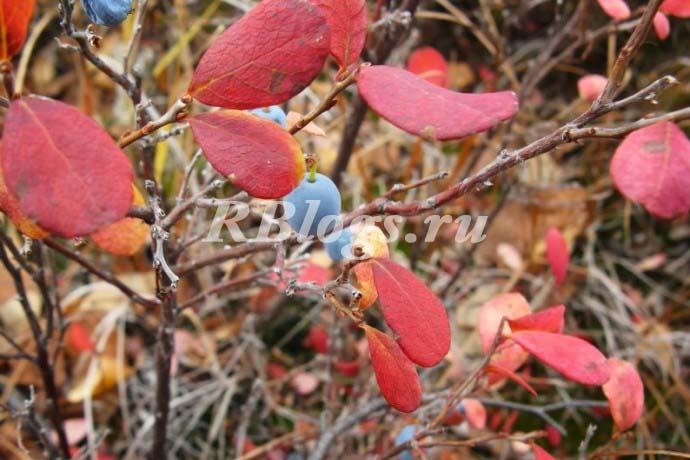 Красные листья у садовой голубики