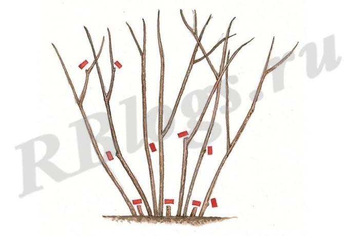 Схема обрезки голубики весной и осенью