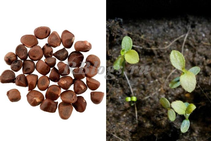 Выращивание голубики из семян