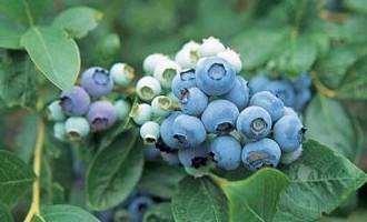 Голубика садовая когда начинает плодоносить