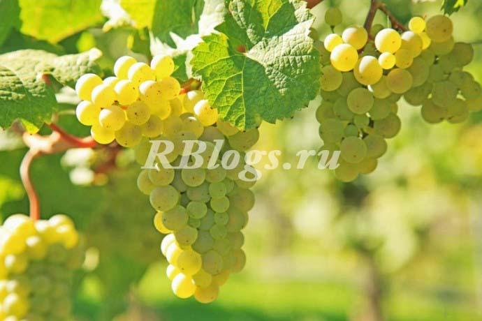 Фото и описание сорта винограда Кишмиш Мираж