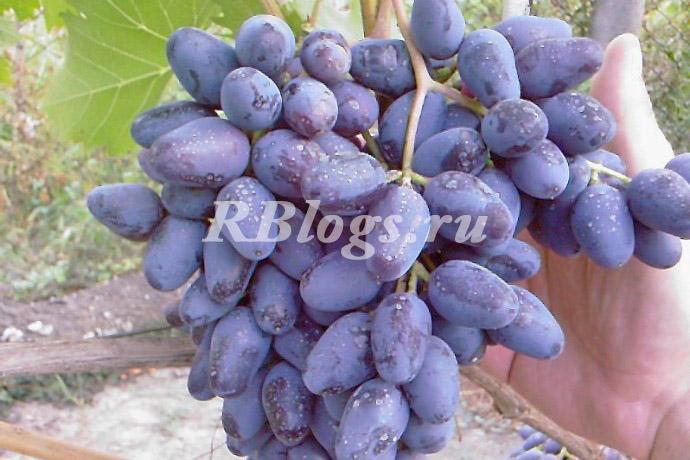 Описание и фото винограда сорта Кодрянка