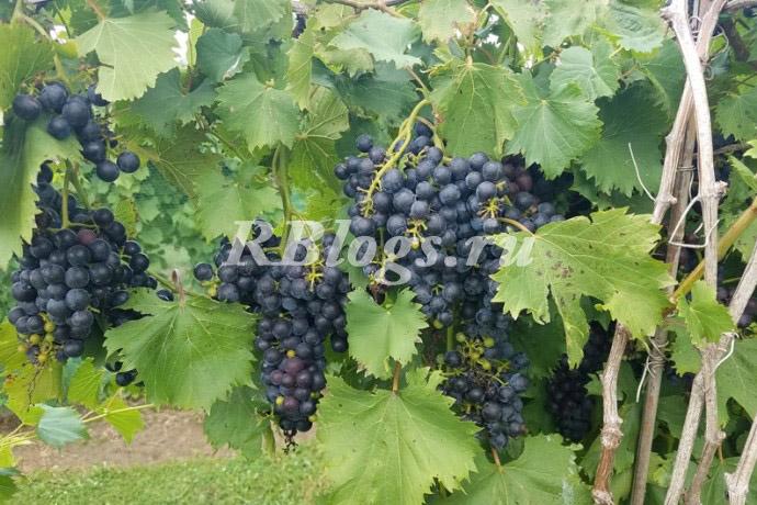 Фото и описание сорта винограда Космонавт