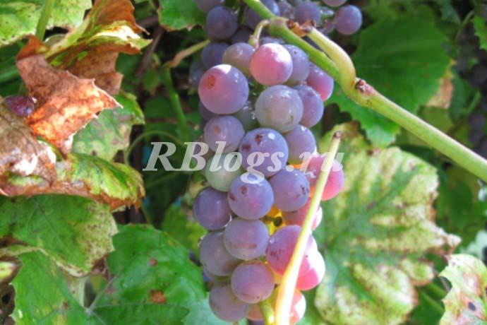 Фото и описание сорта винограда Люсиль