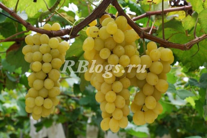 Описание и фото винограда Мускат летний