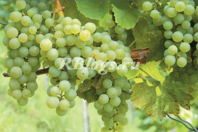 Фото и описание сорта винограда Особый