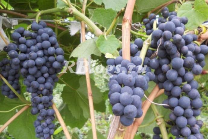 Описание и фото винограда Память Домковской