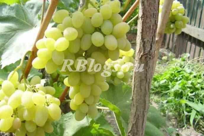 Фото и описание винограда Плевен мускатный