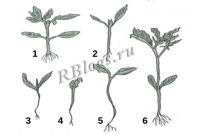 Сеянцы томата, пригодные и непригодные для пикировки