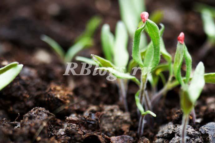 Всходы томатов появляются на четвертый-пятый день после посева.