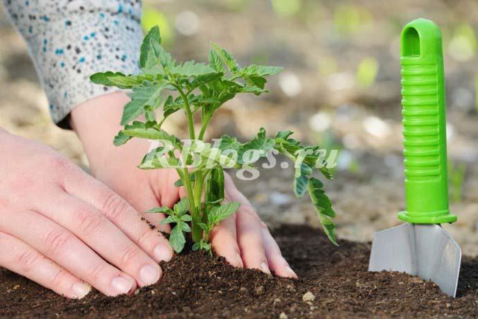 Рассаду помидоров сажают глубже, чем они были в горшках
