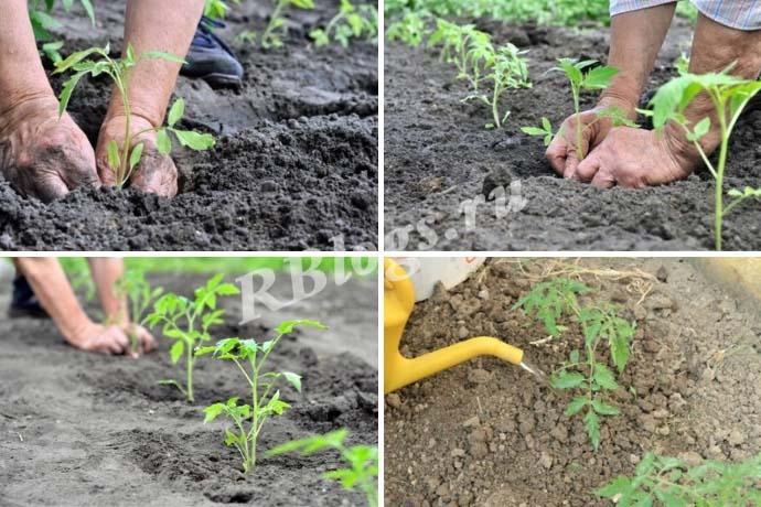 Правильная высадка рассады помидор в открытый грунт