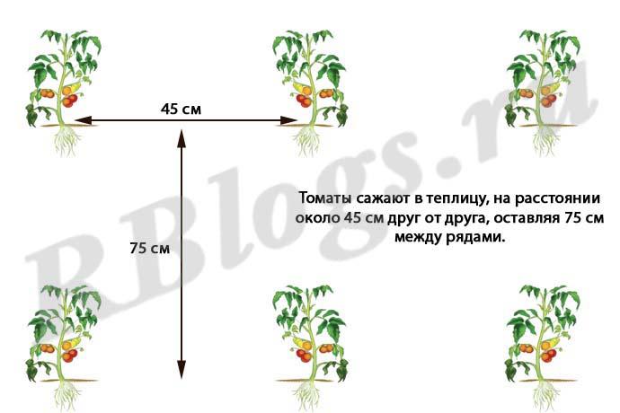 Посадка рассады помидоров в теплице