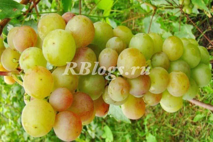 Фото и описание сорта винограда Русвен