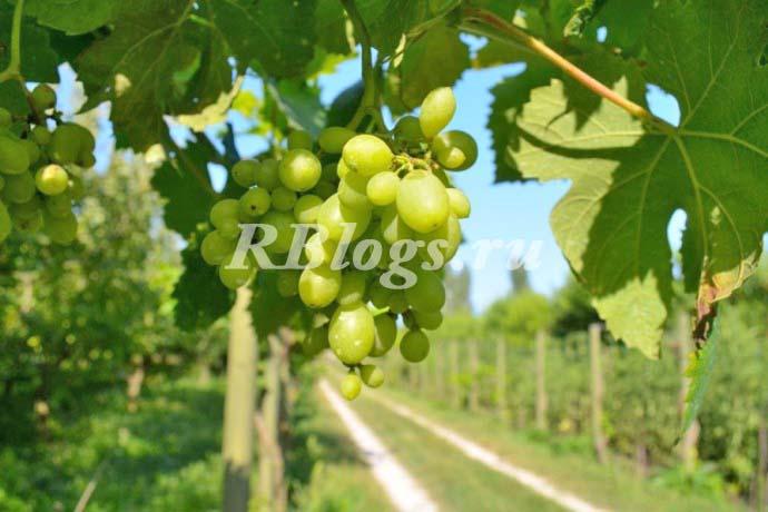 Описание и фото сорта винограда Сеянец ГБС-1