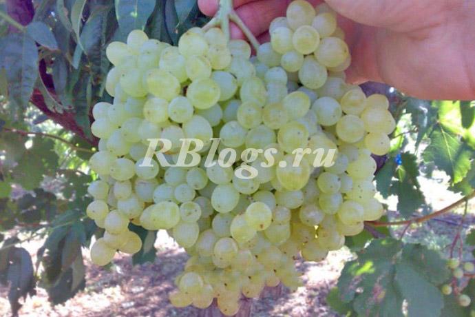 Фото и описание винограда Сверхранний бессемянный