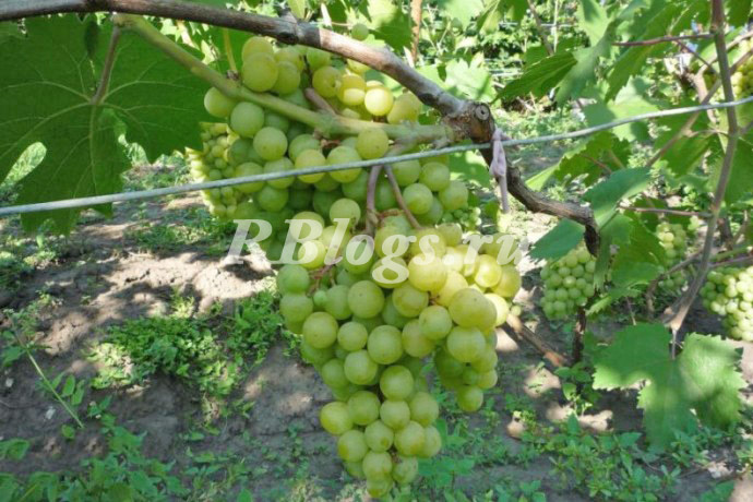 Фото и описание сорта винограда Тигин