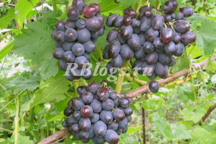 Описание и фото сорта винограда Томайский