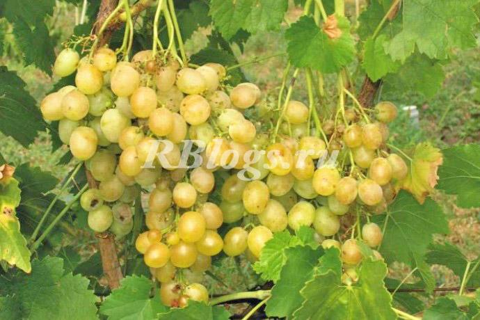 Фото и описание сорта винограда Тур Хейердал