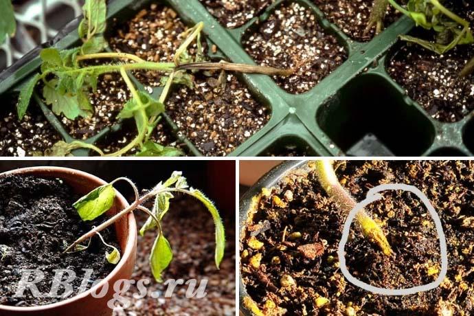 Фото рассады помидоров, заболевшей чёрной ножкой