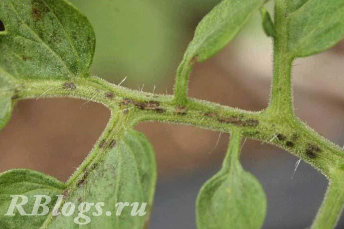 Фото листьев томата с чёрной бактериальной пятнистостью