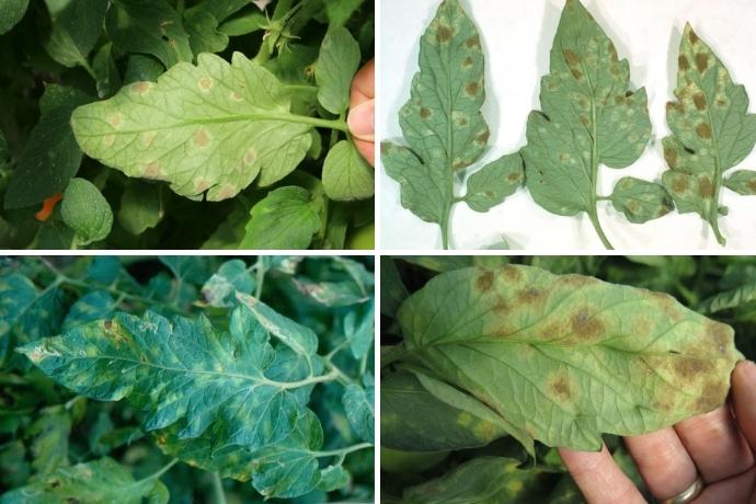 Кладоспориоз (оливковая или бурая пятнистость) на листьях рассады помидоров