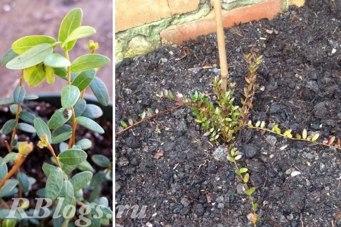 Выращивание клюквы черенками