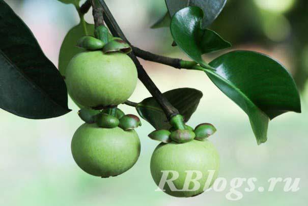 Фото дерева мангостин