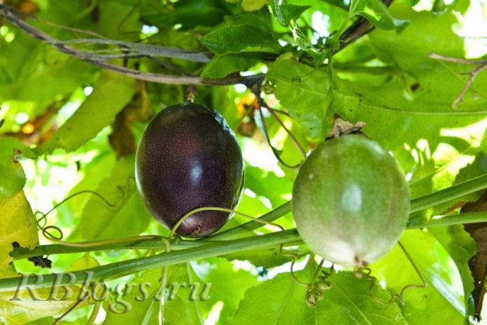 Фото плодов маракуйи на лиане