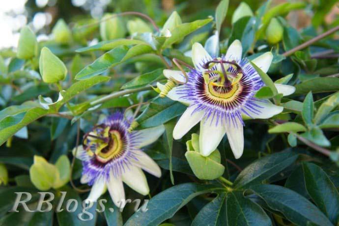 Фото цветков маракуйи (гренадиллы)