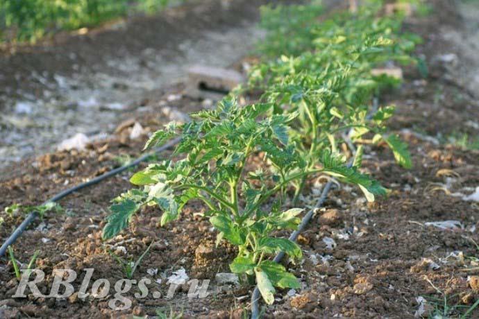 Фото томатов в открытом грунте