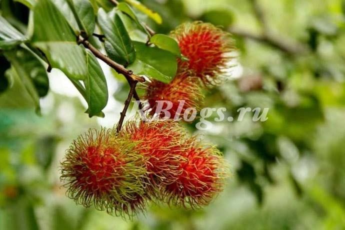Фото дерева рамбутан