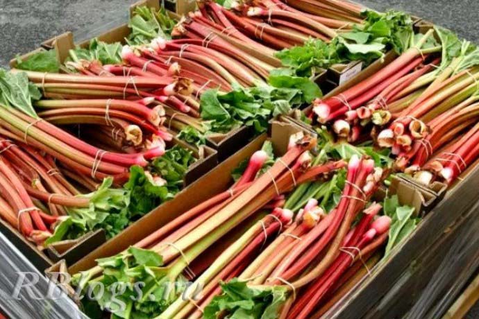 На фото пучки свежих ярко-красных черешков ревеня