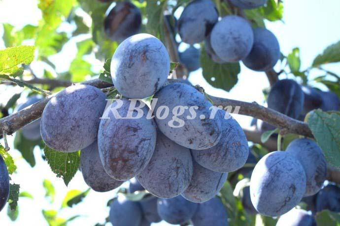 Фото и описание сорта сливы Синий дар