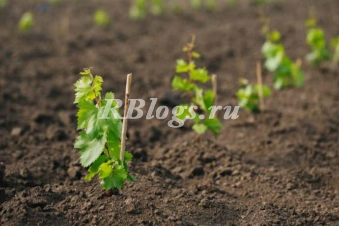 Посадка черенков винограда весной