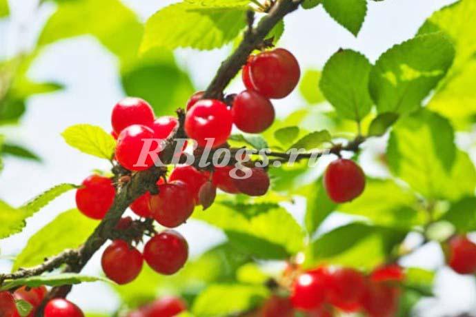 Вишня войлочная (Prunus tomentosa) – фото