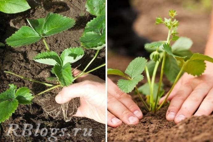 Как посадить землянику садовую в открытый грунт