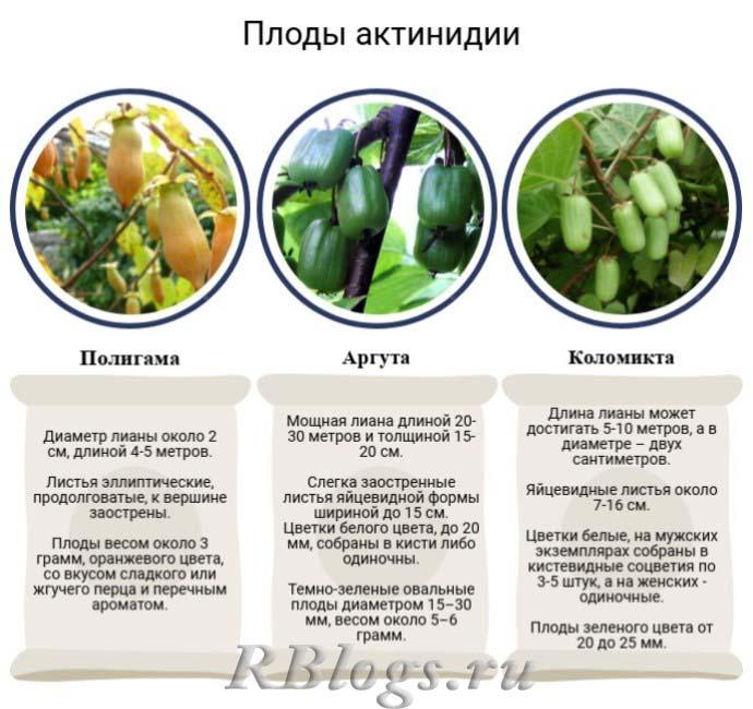 Виды актинидии для выращивания – полигама, аргута, коломикта