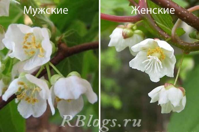 Отличия актинидия мужской и женской – фото