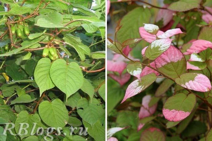 Зеленые и цветные листья актинидии
