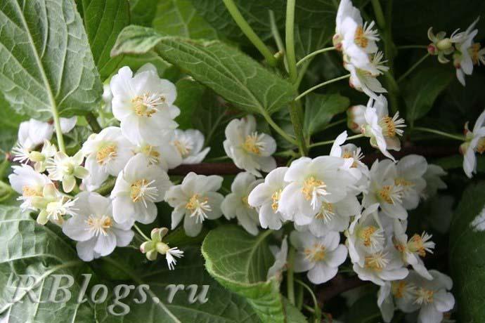 Как цветет актинидия – фото