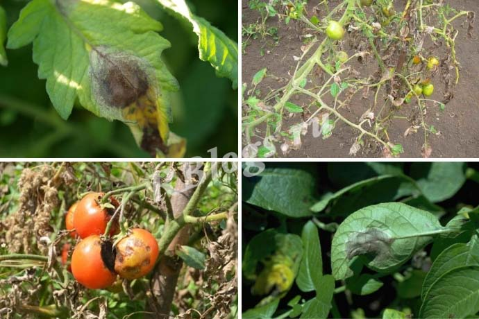 Первые признаки фитофторы на помидорах – фото